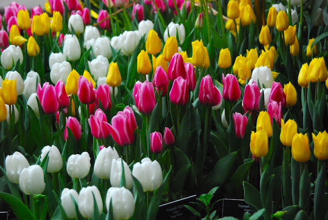 Pink, yellow and white tulips filling the entrance way.