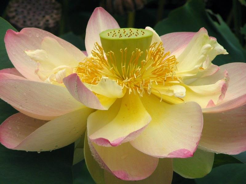 Znalezione obrazy dla zapytania lotos kwiat