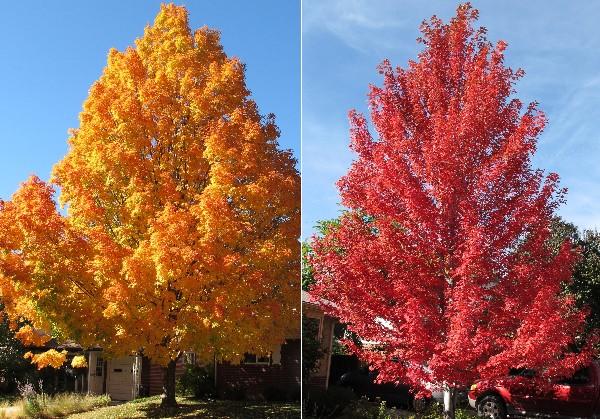 Autumn Blaze Red Maple8