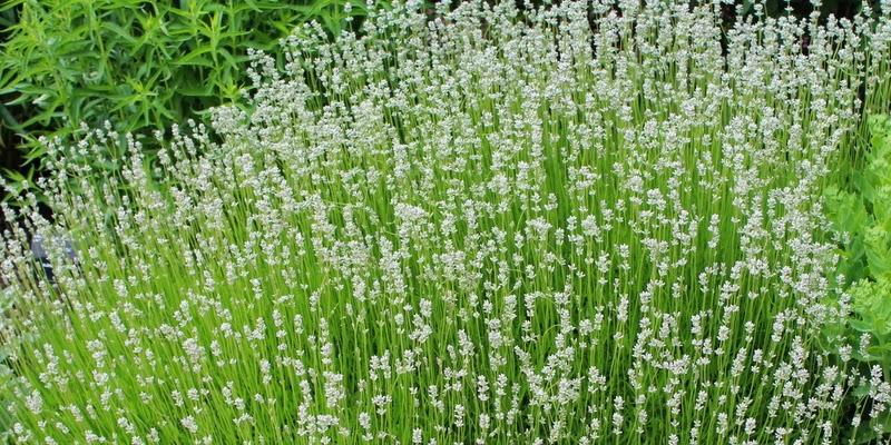 lavendel, lavandula angustifolia