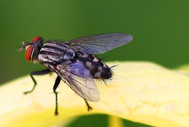 Inilah Keajaiban Hadis Tentang Sayap Lalat TERBUKTI Secara Ilmiah