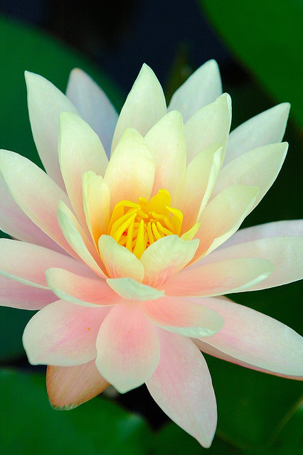 beautiful lotus flowers  explore amazing world, Beautiful flower