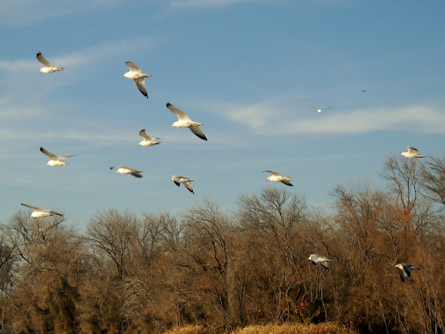 Ring-billed gulls flying across Sunset Bay, White Rock Lake, Dallas, Texas