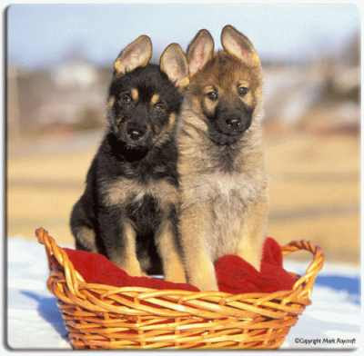 Puppies on Cute German Shepherd Puppies Pictures Free Stock Images Stock Free