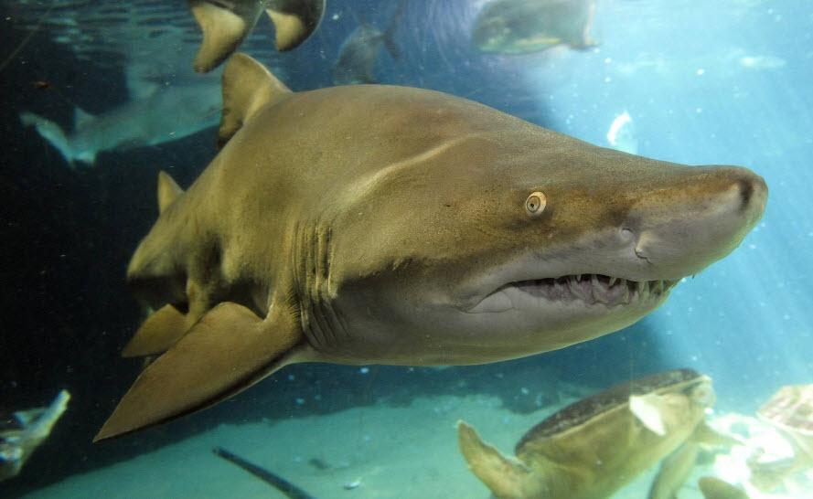 animal you sand tiger shark