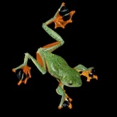 The Flying Frog of Borneo