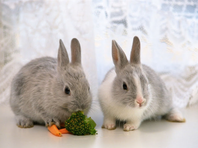 Two  bunny