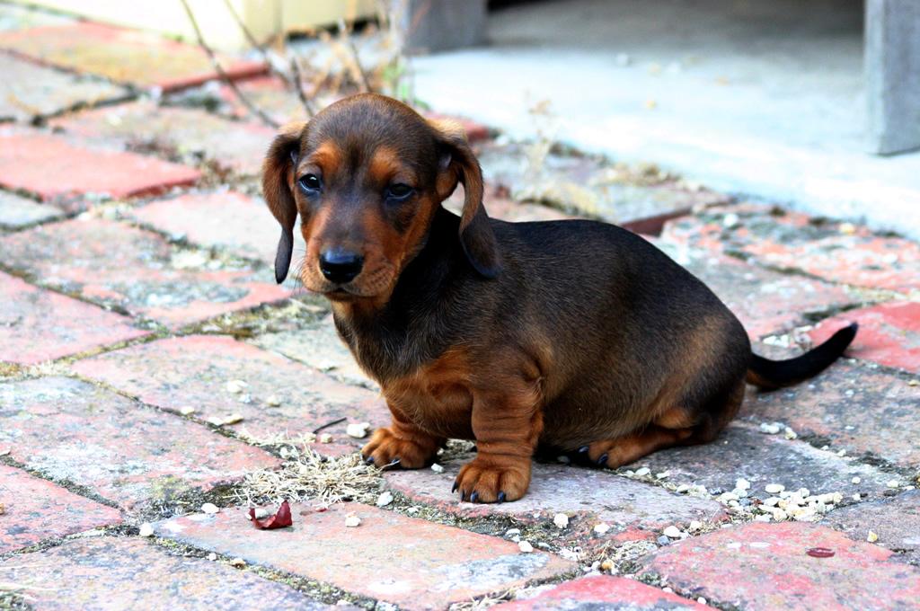 Cute Dogs: Miniature D...
