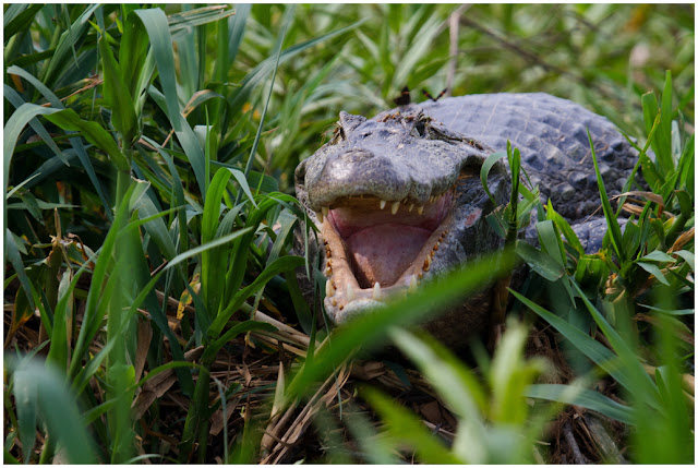 A photograph of a Yacare Caiman taken in the Pantanal in Brazil