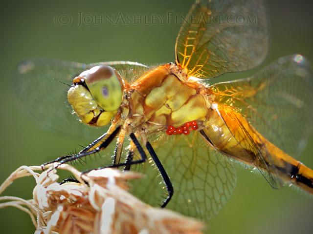 Dragonfly with mites(c) John Ashley