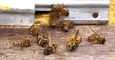 dead wasp, dead bees, wasp vs. bees, wasp and bee fight