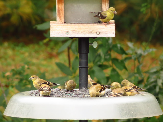 even more american goldfinches
