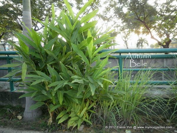 my nice garden how to grow galangal alpinia galanga