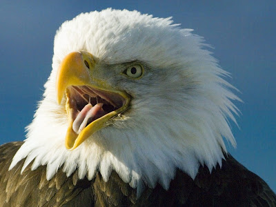 Bald Eagle Bird Pictures