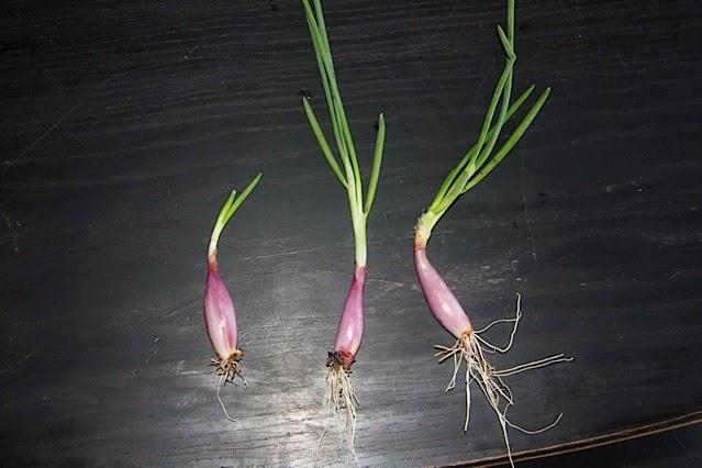 Everlasting onions