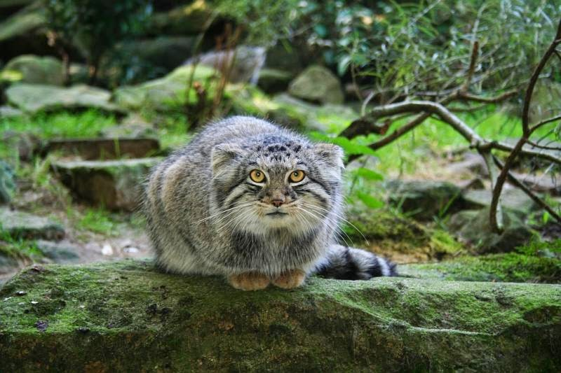 Pallas cats animals interesting facts latest pictures the pallas cat pet pic publicscrutiny Images