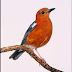 Mengenal berbagai macam burung anis