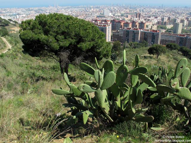 Collserola - Pinos y cactus