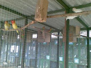 gambar kandang lovebird