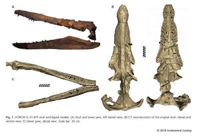 Pliosaurus skull