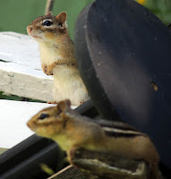 Two chipmunks