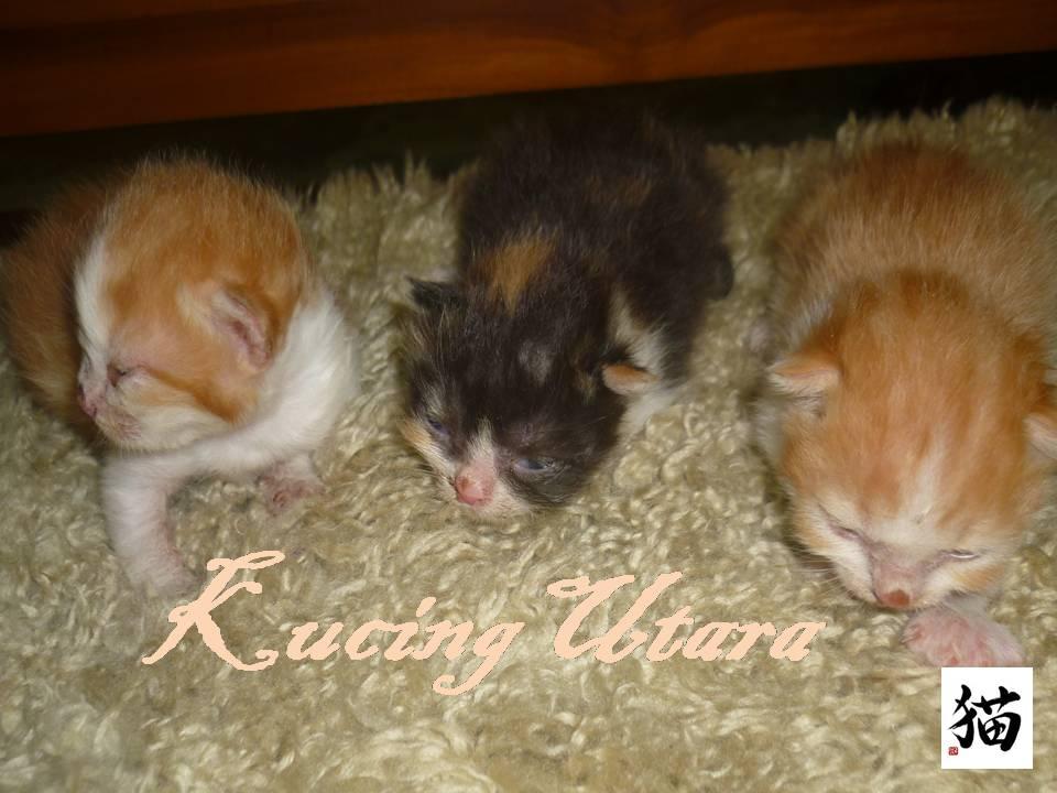 Kucing Utara Kucing Betina Membunuh Anak Kucing