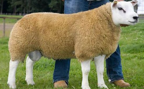 deveronvale perfection sheep with golden yellow fleece
