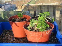 Parsley in the greenhouse has done well over the winter.