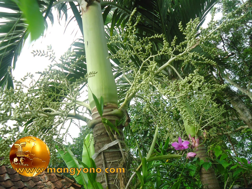 Pohon palem yang sering di jadikan sebagai tanaman hias