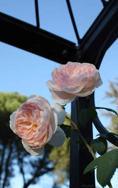 roses, art, S. Myers, Sarah Myers, pink, wrought iron, garden, photography, plants, flowers, arte