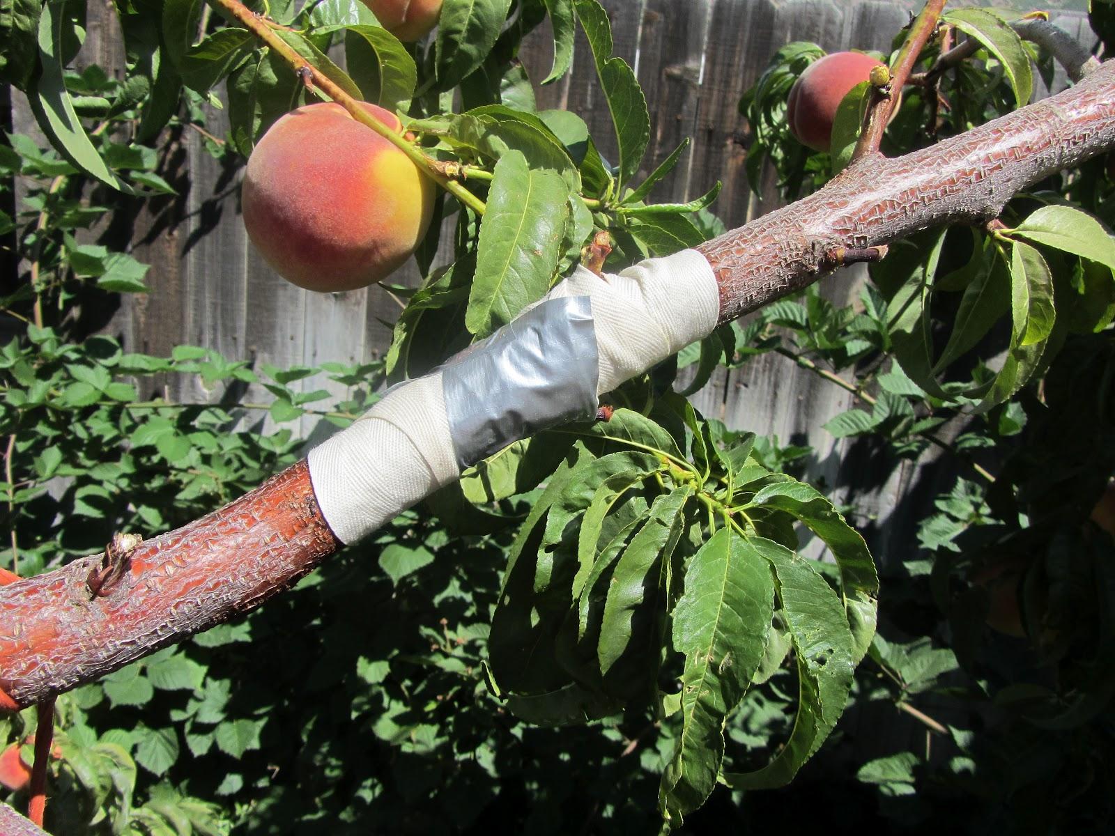 http://2.bp.blogspot.com/-PrZmxlL-sWI/UEECKh6418I/AAAAAAAAD18/QlFrrUZi6-w/s1600/2012,+August+funnies,+peach+tree+013.JPG