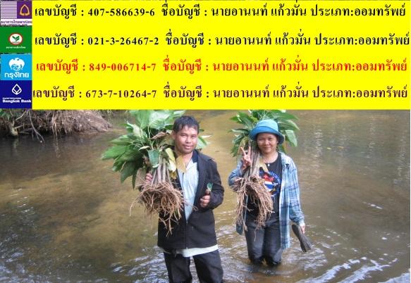 ว่านขันหมากเศรษฐีสุดยอดสมุนไพรไทย