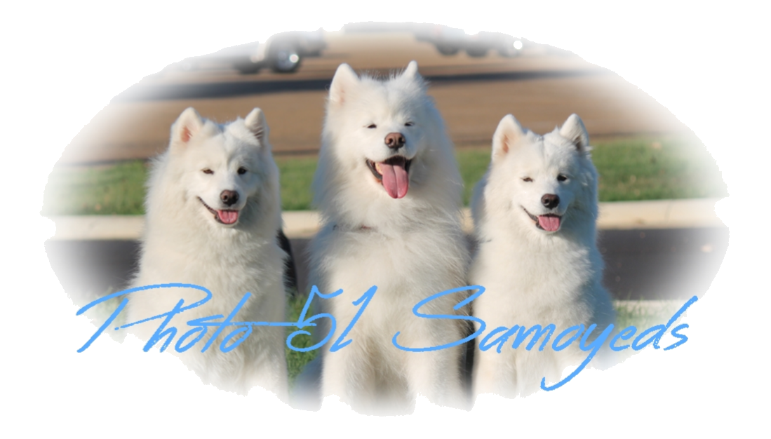 Photo 51 Samoyeds
