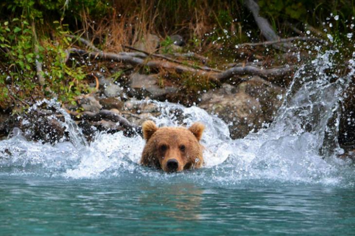 Urso em um rio