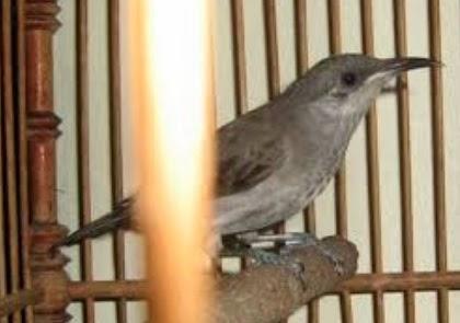 burung cucak kombo adalah burung pemakan nektar bunga sari bunga dan ...