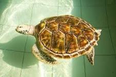 Le tartarughe di mare