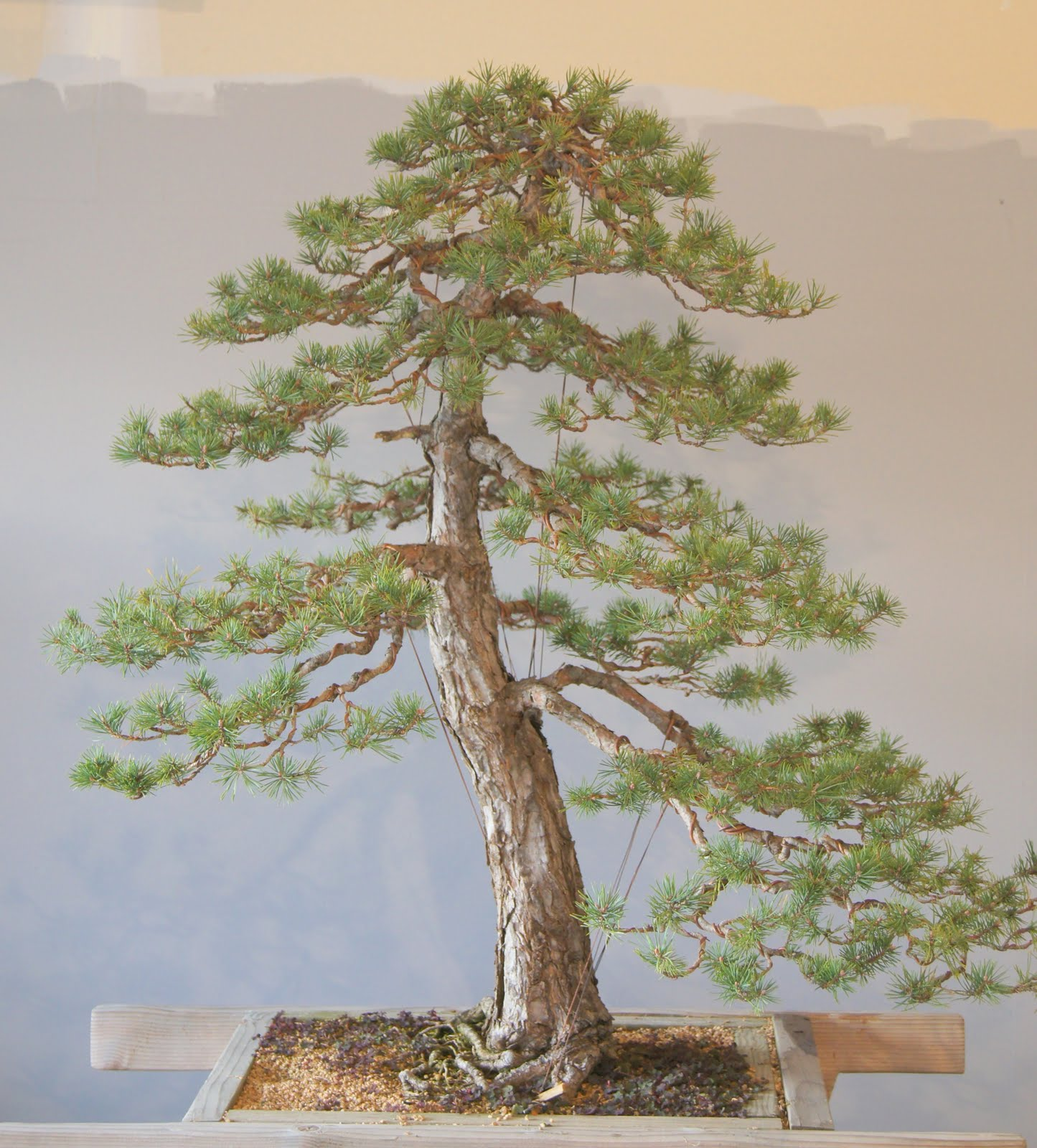 Broken Arrow Bonsai