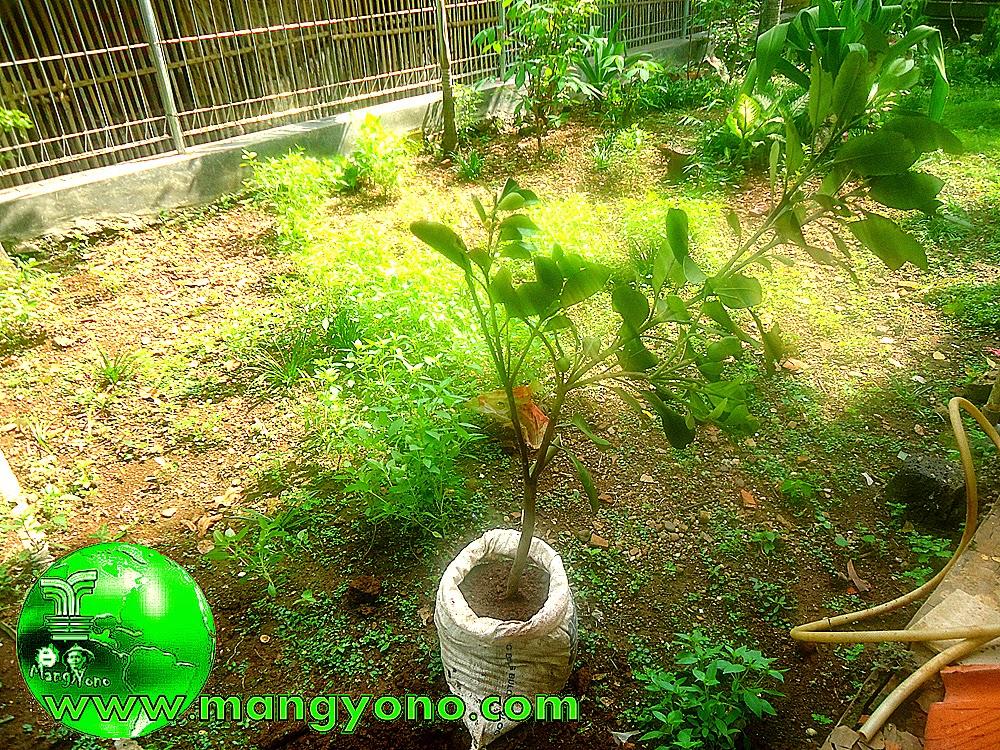 Melakukan pembibitan cangkokan sebelum ditanam di tanah langsung. Foto jepretan 14/12/2014