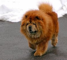 Cute Best Chow Chow Puppy