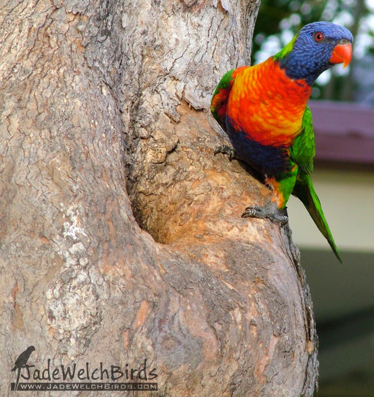Rainbow Lorikeet Hollow Jadewelchbirds jade welch birds