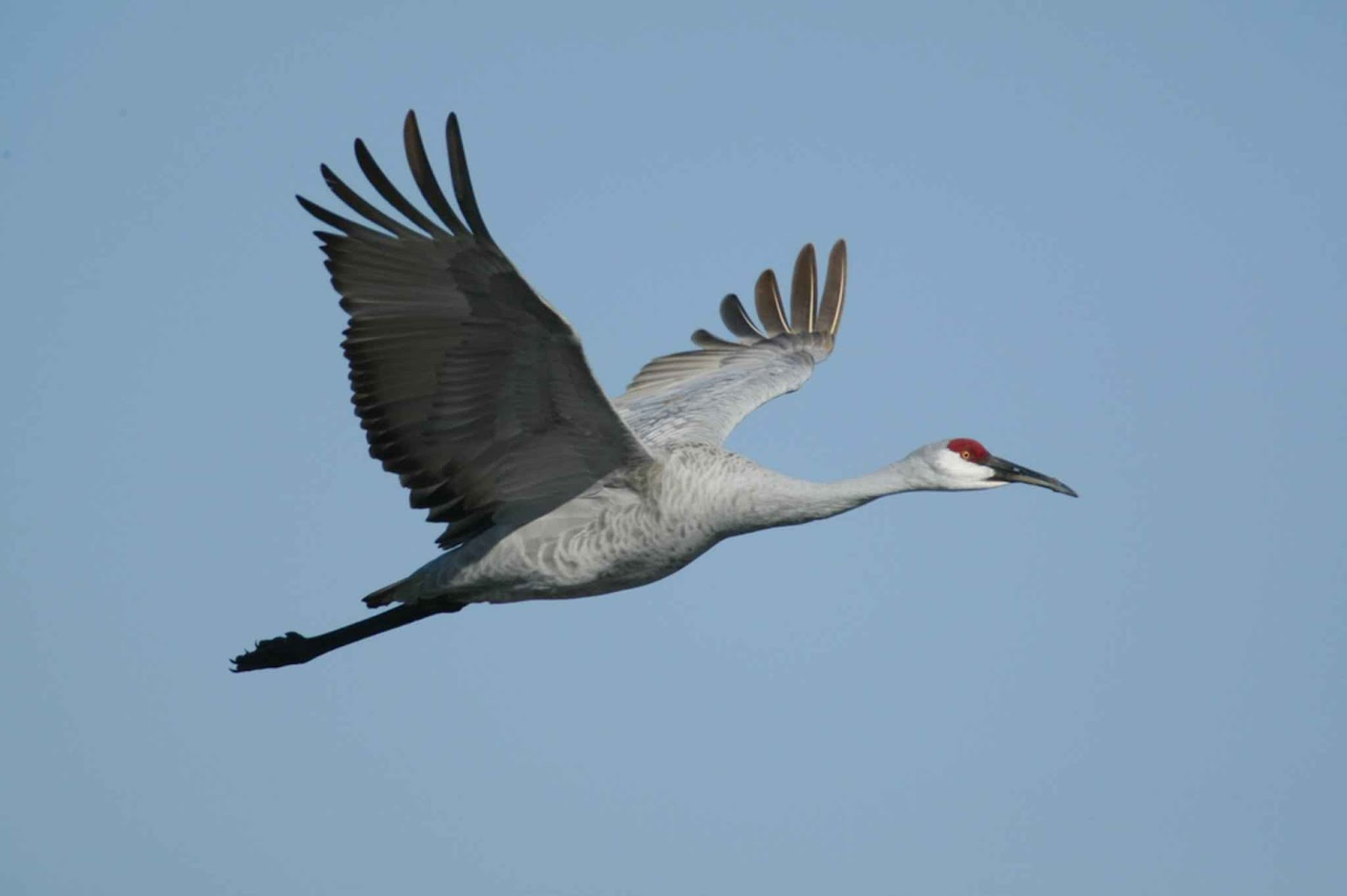 Beautiful crane wild birds wild life for The crain