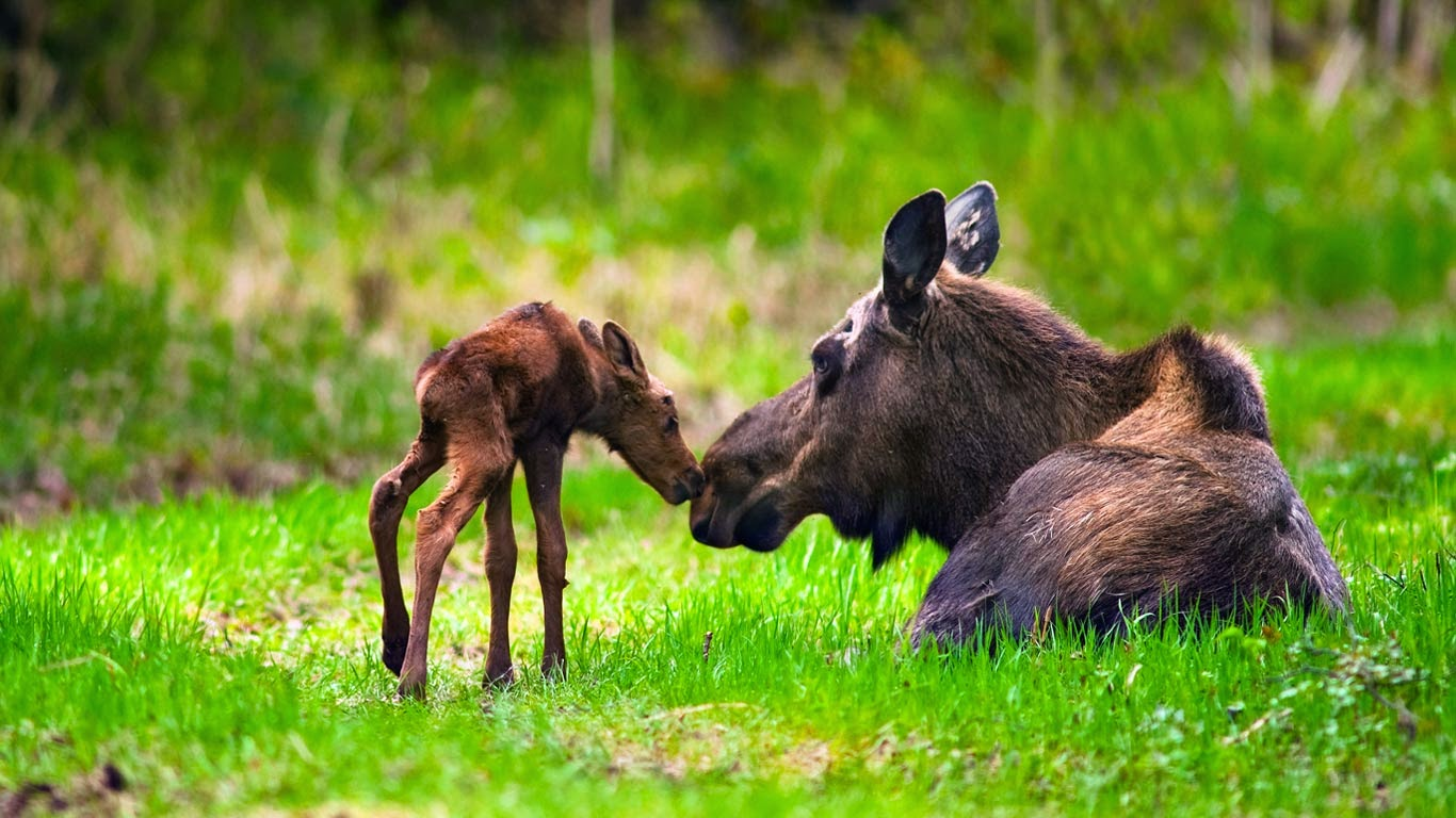 Cow and calf moose, Kincaid Park, Anchorage, Alaska (© Michael Jones/Corbis) 231