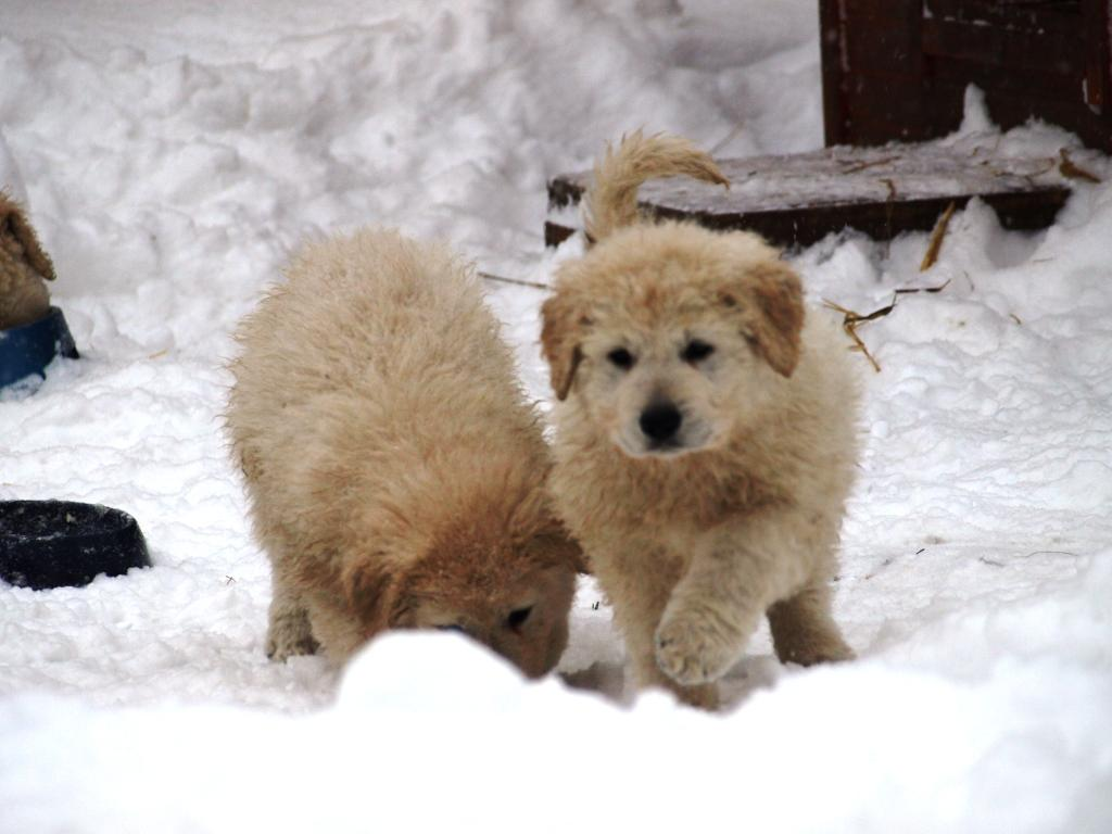 Cute Puppies Playing in Snow Cute Puppies Playing in Snow