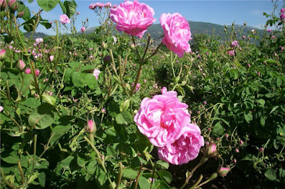 Pink Rose (Rosa Centifolia) Overview, Health Benefits, Side effects
