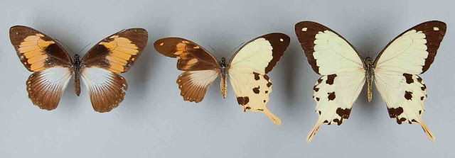 lepidoptera, gynandromorph, butterfly