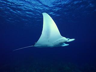 manta raya Fotografias de animales marinos