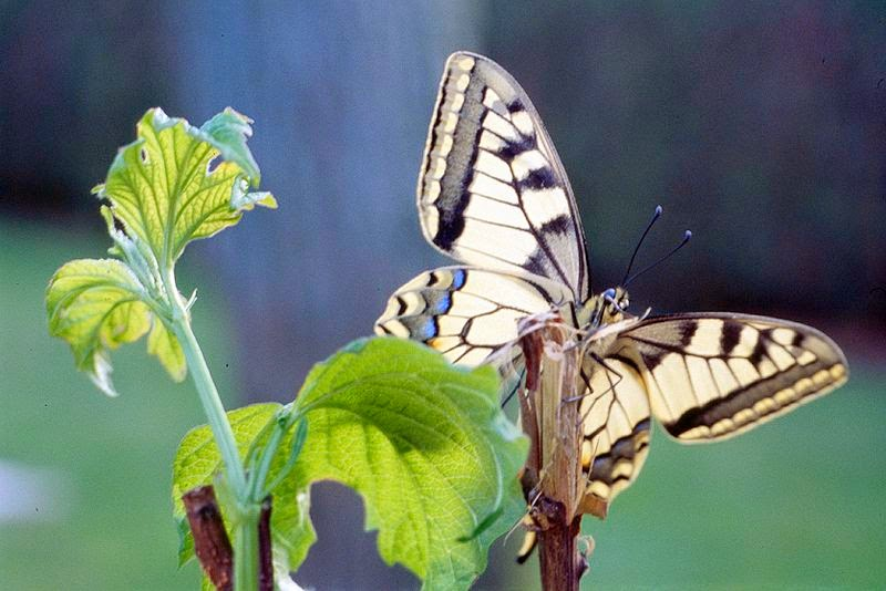 http://commons.wikimedia.org/wiki/File:11_Machaon.jpg