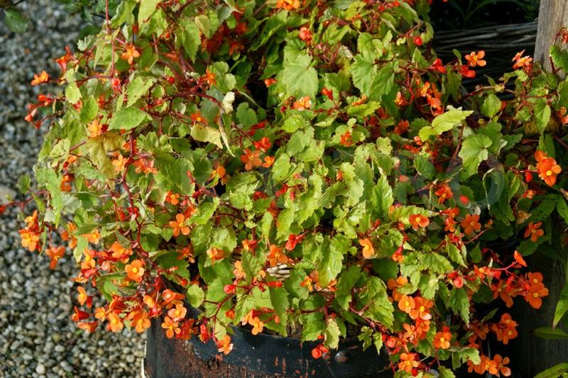 Plantas perennes con flores para maceteros 2 for Arbustos perennes para jardin
