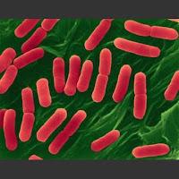 bakteri Escherichia coli
