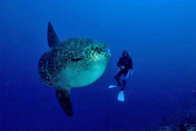 Life of ocean sunfish life of sea for The mola mola fish